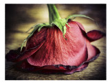 feb 12 Lincolns rose