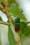 Pyrops transversolineatus