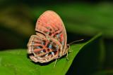 Paralaxita orphna