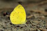Eurema nicevillei nicevillei