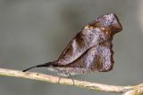 Libytheidae