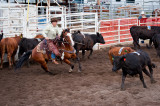 Penning Competition at Willingdon, Alberta