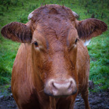 Even the Cows are Friendly In England