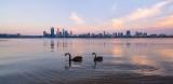 Black Swans on the Swan River at Sunrise, 1st November 2013