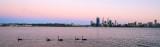 Black Swan on the Swan River at Sunrise, 8th November 2013