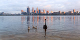 Black Swan and Cygnets on the Swan River at  Sunrise, 11th September 2014