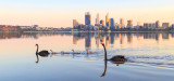 Black Swan and Cygnets on the Swan River at  Sunrise, 19th September 2014