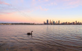 Black Swan on the Swan River at Sunrise, 16th April 2015