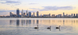 Black Swans on the Swan River at Sunrise, 2nd May 2015