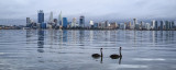 Black Swans on the Swan River at Sunrise, 18th May 2015
