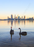 Black Swans on the Swan River at Sunrise, 2nd September 2015