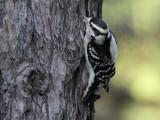 Downy Woodpecker - Donsspecht - Dryobates pubescens