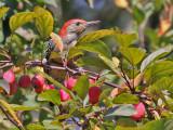 Red-bellied Woodpecker - Roodbuikspecht - Melanerpes carolinus