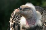 Griffon Vulture - Vale Gier- Gyps fulvus