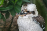 Kookaburra - Lachvogel - Dacelo novaeguineae