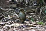 Two Antpittas in Colombia 2013