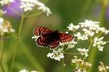 Melitaea britomartis (veronikanätfjäril) Bråfors (Vstm) 100625 Stefan Lithner