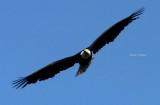 A study of bald eagle Alaska 2014