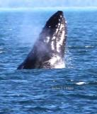 Humpback Whale Show Alaska 2014