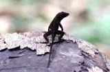 Habana anole (Anolis homolechis) dark morph. Photo Stefan © Lithner