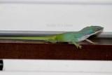 Cuban green anole (Anolis porcatus). Photo Stefan © Lithner