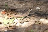 Cuban curlytailed lizard (Leiocepalos cubensis). Cuban green anole (Anolis porcatus). Photo Stefan © Lithner