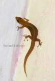 Yellow-headed gecko (Gonatodes albogularis). Habana anole (Anolis homolechis) dark morph. Photo Stefan © Lithner