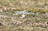 In order Lagomorpha you find two families; Leporidae (hares and rabbits) and Ochotonidae (pikas).