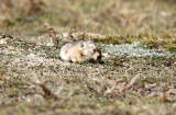 According to Smith & Yan Xie; A G to the Mammals of China 24 species of pikas are recognized in China.
