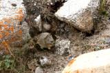 Our second pika; Gansu pika (Ochotona cansus)