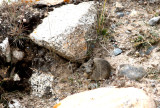 Gansu pika (Ochotona cansus)
