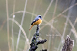 Hodgsons redstart (Phoenicurus hodgsoni)