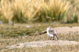 Groundpecker (Pseudopodoces humilis)