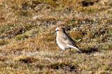 Rufous-necked snowfinch (Pyrgilauda ruficollis)