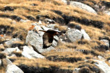 Upland buzzard (Buteo hemilasius)