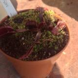 Dionaea Muscipula Akal ryu Red Dragon Venus fly trap