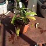 Nepenthes Ventricosa Inermis ventrinermis