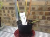 Sarracenia flava var maxima Saphony Creek Sussex Co Virginia All green form