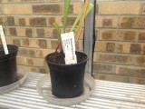 Sarracenia flava var ornata 2nd site Sandy Creek Rd N Florida