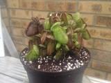 Cephalotus follicularis Albany pitcher Australia