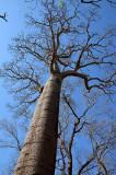 Broad-leaved Bottletree (Brachychiton australis)