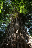Banyan (Ficus virens) - the Cathedral Fig
