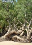 paperbarks (Melaleuca sp)