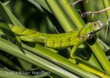 Green Iguana (young) 2562.jpg