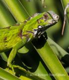 Green Iguana (young) 2564.jpg
