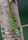 Grenada Tree Anole-3299.jpg