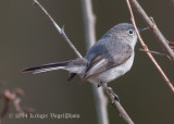 Blue-gray Gnatcatcher (female) 3989.jpg
