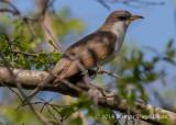 Yellow-billed Cuckoo 4579.jpg