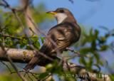 Yellow-billed Cuckoo 4580.jpg