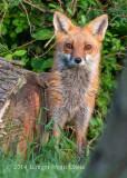 Red Fox 4588.jpg